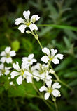 Witte bloemen op een groene achtergrond Stock Afbeeldingen