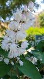 Witte bloemen op een struik Royalty-vrije Stock Afbeeldingen
