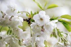 Witte bloemen op een tak Royalty-vrije Stock Fotografie