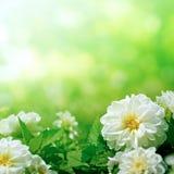 Witte bloemen op groen Royalty-vrije Stock Foto's