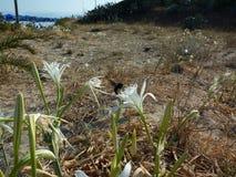 Witte bloemen op het strand Eiland Korfu Griekenland Overzees De zomer Blauwe hemel stock foto's