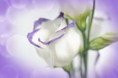 Witte bloemen op lilac achtergrond Stock Afbeeldingen