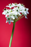 Witte bloemen op rood royalty-vrije stock foto's