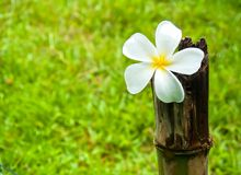 Witte bloemen Plumeria die op bamboe worden geplaatst Royalty-vrije Stock Foto's