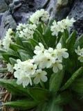Witte bloemen in regendruppels royalty-vrije stock foto's