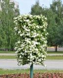 Witte bloemen in stadsvierkant Stock Foto's