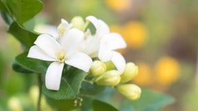 Witte bloemen, stuifmeel, geel met groene bladeren Stock Foto