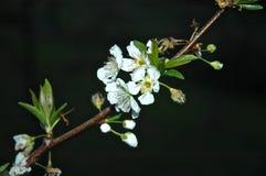 Witte bloemen tegen een zwarte achtergrond Stock Afbeelding
