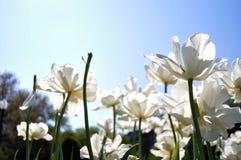 Witte bloemen in tuin Stock Afbeelding