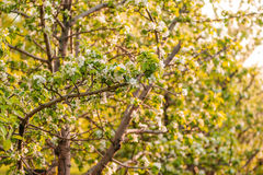Witte bloemen van appelbomen in de lente Royalty-vrije Stock Afbeelding