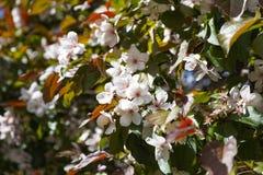 Witte bloemen van appelboom Royalty-vrije Stock Afbeelding