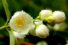 Witte bloemen van bloeiende kers of appelboom met waterdalingen royalty-vrije stock foto's