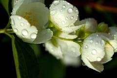 Witte bloemen van bloeiende kers of appelboom met waterdalingen royalty-vrije stock afbeelding