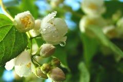 Witte bloemen van bloeiende kers of appelboom met waterdalingen royalty-vrije stock fotografie