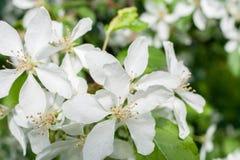 Witte bloemen van boom van de de lente de tot bloei komende appel Stock Foto's
