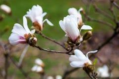 Witte bloemen van de magnoliaboom in de vroege lente Stock Foto's