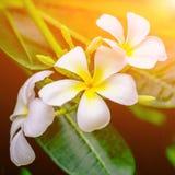 Witte bloemen van het bloeien Plumeria stock fotografie