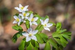 Witte bloemen van houten anemoon in detail Stock Foto
