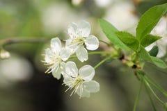 Witte bloemen van kers Royalty-vrije Stock Afbeeldingen