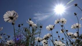 Witte bloemen van kosmos als zon en blauwe hemelachtergrond stock footage