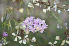 Witte bloemen van wilde ui met groene stam stock fotografie