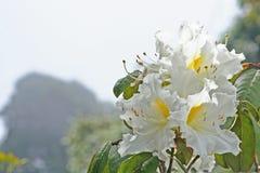 Witte bloemenachtergrond, de Azalea van Rododendronarboreum in doi inthanon Nationaal park van Thailand in Chiang Mai, hoogste be stock foto