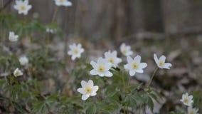 Witte bloemenanemonen in de lentehout stock footage