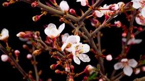 Witte Bloemenbloesems op de Takken Cherry Tree stock video