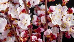 Witte Bloemenbloesems op de Takken Cherry Tree stock videobeelden
