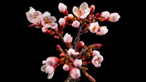 Witte bloemenbloesems op de takkenkers stock video