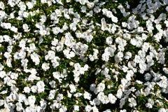 Witte Bloemenclose-up De achtergrond van de aard Bush met groene bladeren Zon lichte, zonnige dag stock foto's