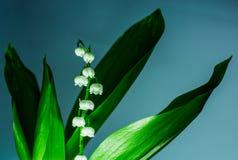 Witte bloemenlelietje-van-dalen op grijze achtergrond Royalty-vrije Stock Afbeeldingen