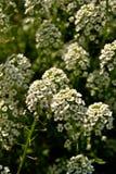 Witte bloemenliefde Stock Foto