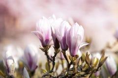 Witte bloemenmagnolia Royalty-vrije Stock Afbeeldingen