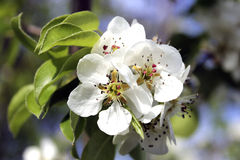 Witte bloemenperen Stock Fotografie