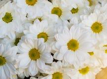 Witte Bloemenpetunia Als achtergrond royalty-vrije stock fotografie
