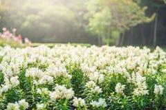 Witte bloementuin Royalty-vrije Stock Foto