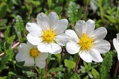 Witte bloemkronen; dryasoctopetala Stock Fotografie