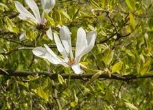 Witte bloemmagnolia Kobus Royalty-vrije Stock Foto's