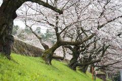 Witte bloemtuin in Japan Royalty-vrije Stock Fotografie