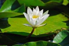 Witte bloemwaterlelie  Royalty-vrije Stock Afbeeldingen