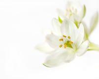 Witte bloesem Stock Afbeeldingen