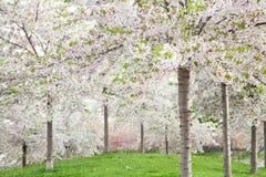 Witte bloesem in de lente Stock Foto's