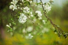 Witte bloesem op boom Stock Afbeeldingen