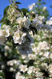 Witte bloesem op fruitboom Stock Foto's