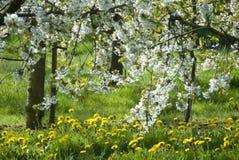 Witte bloesem in platteland Stock Afbeeldingen