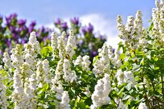 Witte Bloesem Syringa Stock Afbeelding