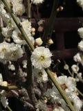 Witte bloesembloem Stock Afbeeldingen