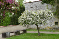 Witte bloesemboom Stock Fotografie