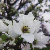 Witte bloesems Royalty-vrije Stock Fotografie